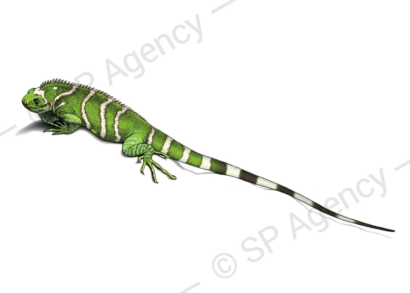 Crested-Iguana
